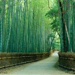 La forêt de bambous au Japon