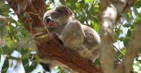 Koala en Australie